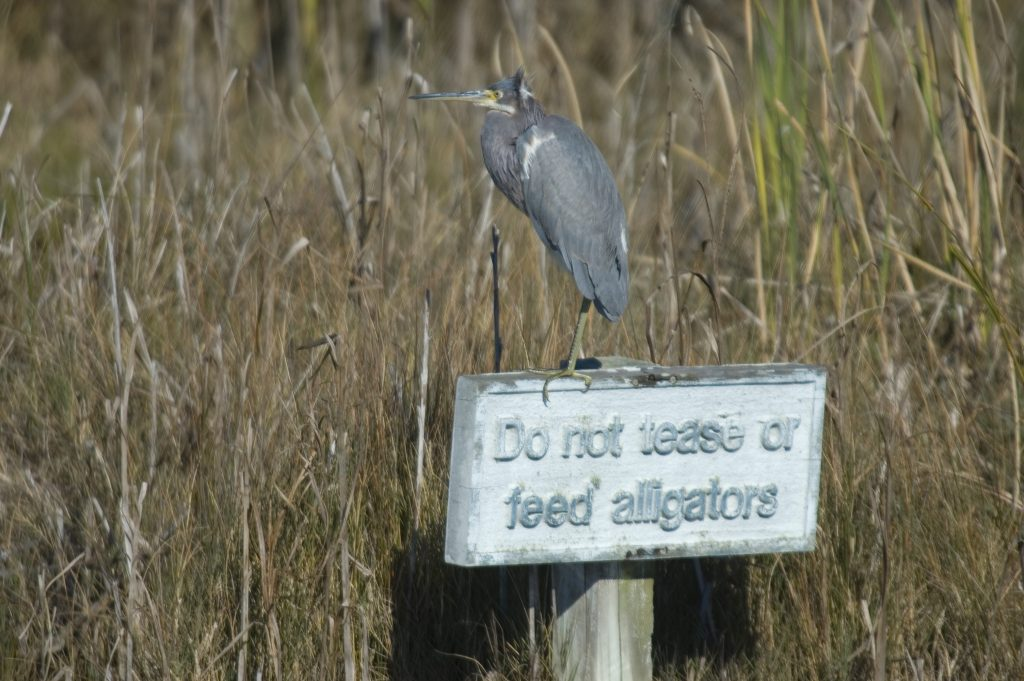 DeBordieu Colony Alligator Safety Tips
